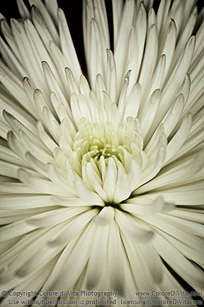 Colore di vita photography galleries fine art prints a flowers white petals close up photo of a spiky white flower with many mightylinksfo